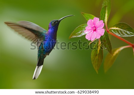 Glossy blue bird in flight. Hummingbird Violet Sabrewing flying next to beautiful pink flower, Costa Rica. Wildlife scene from nature. Birdwatching in South America. #629038490