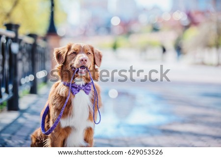 Nova Scotia Duck Tolling Retriever dog holding the leash in his mouth #629053526