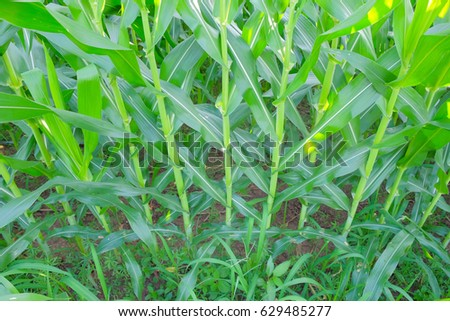 selective focus picture of organic young corn at agriculture field  #629485277