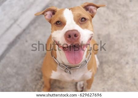 Pitbull dog alway smile
