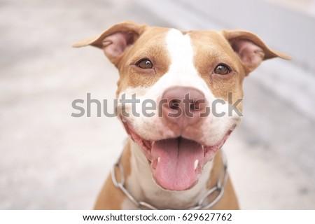 Pitbull dog alway smile.