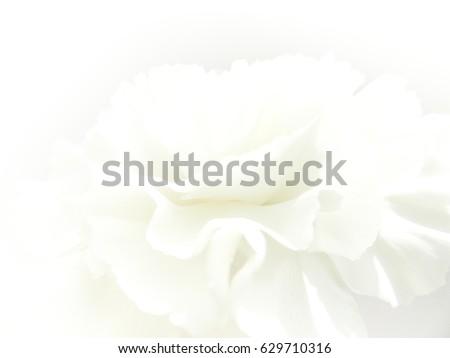 White petal rose soft background. Soft dreamy image.  #629710316