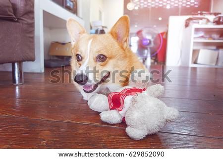 corgi dog hug white teddy bear and smile face,funny animal picture,vintage tone