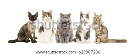 Group of different breed of cats sitting looking at the camera isolated on a white background #629907236