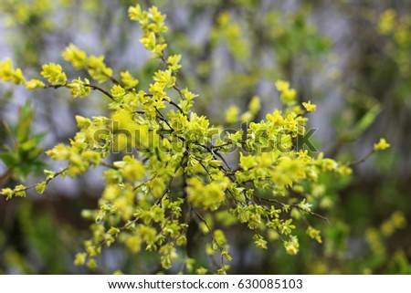Yellow buds on a tree branch close up #630085103