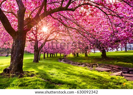 Cherry tree blossom explosion in Hurd Park, Dover, New Jersey. Same trees, with green summer foliage, can be found by searching for photo ID: 707340079 #630092342