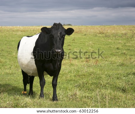 belted galloway cow on a hay field #63012256
