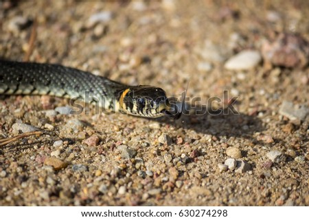 Grass-snake portrait #630274298