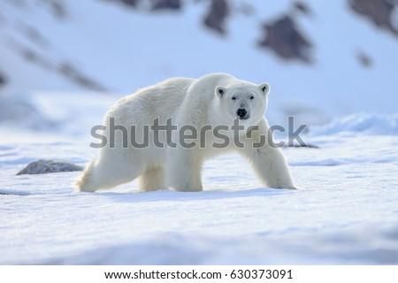 Polar Bear (Ursus maritimus), Royalty-Free Stock Photo #630373091