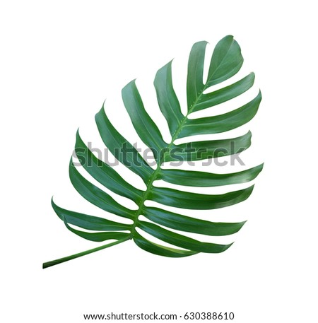Monstera plant  leaf, the tropical evergreen vine isolated on white background, clipping path included #630388610