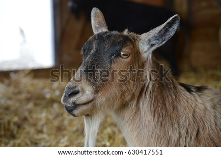 Goat #630417551