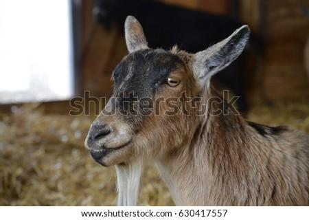 Goat #630417557