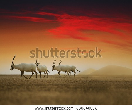 Oryx group waling in desert, United arab emirates