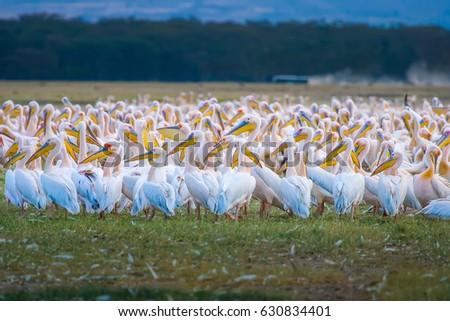 African pelicans. Kenya. #630834401
