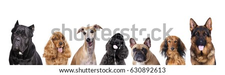 Portraits of dogs of the group on a white background, spaniel, shepherd, dachshund longhaired, cane corso italian, german shepherd #630892613