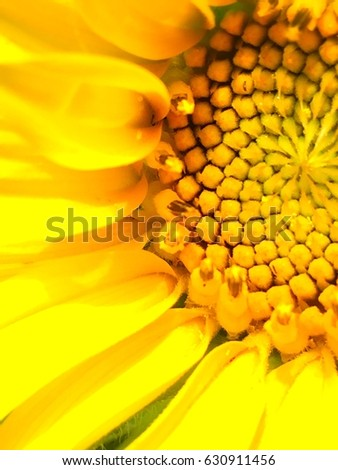 sunflower #630911456