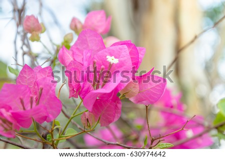 Colorful paper flower, Pink bougainvillea flowers in summer outdoor, Close up flower and selective focus shallow depth of field photo for use as backdrop or background #630974642