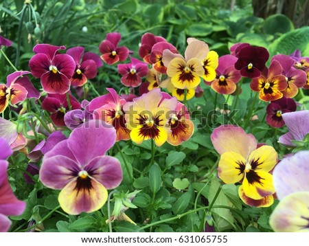Pansy Flowers vivid yellow spring colors against a lush green background. Macro images of flower faces.   Pansies in the garden