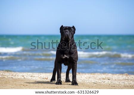 Italian Cane-Corso dog on a beach #631326629