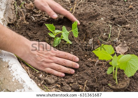 Planting cucumber seedlings at their summer cottage #631361687
