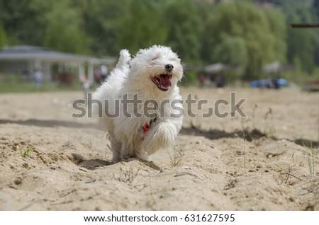 Cute puppy running - Maltese puppy
