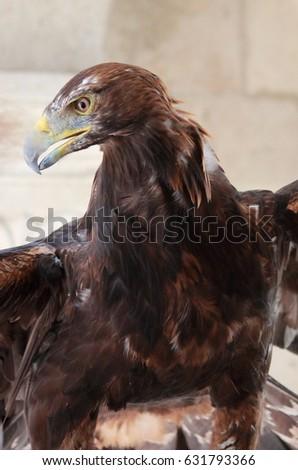 Closeup of a Golden Eagle #631793366
