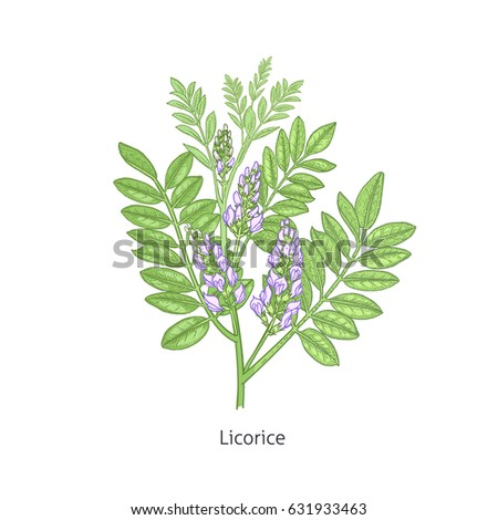 Licorice flower colorful. Medical herbs and plants Isolated on white background series. Vector illustration. Art sketch. Hand drawing object of nature. Vintage engraving style. #631933463