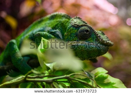 Chameleon in nature close up #631973723
