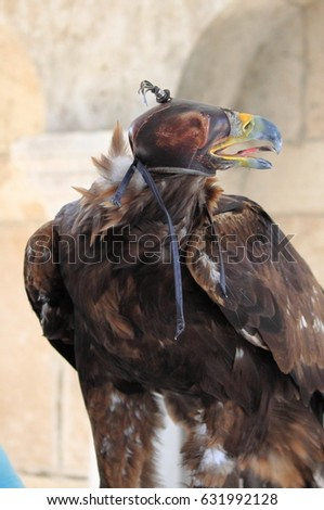 Closeup of a Golden Eagle with hood #631992128