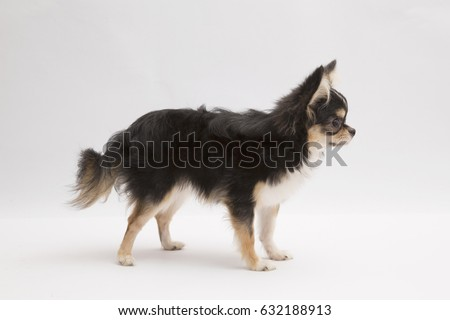 black and tan cream long coated Chihuahua isolated over white background #632188913