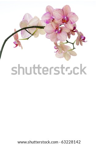 Isolated orchid on white background - template for spa, wellness or beauty publications