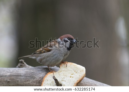 The sparrow arrived to eat on a branch with bread #632285174