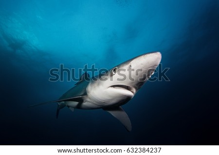 Blue shark, prionace glauca, Atlantic ocean