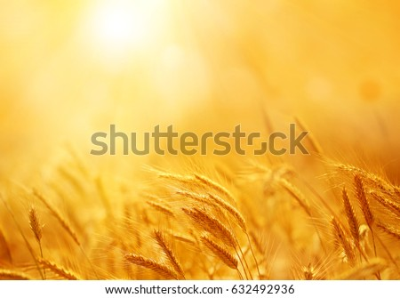 Close up of ripe wheat ears. Beautiful backdrop of ripening ears of golden field. Nature background and  blurred bokeh. Agriculture scene of sun setting over the yellow meadow #632492936