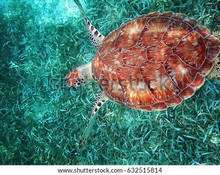 Hol Chan national park, Belize, scuba diving with turtles      Royalty-Free Stock Photo #632515814