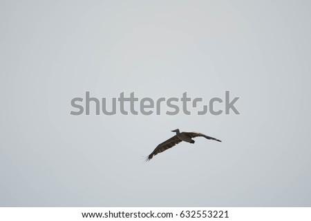 Spot-billed pelican #632553221