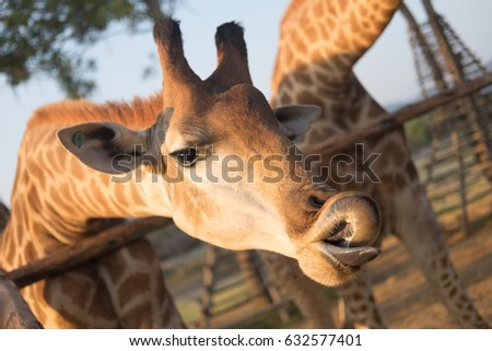 Giraffe smile #632577401