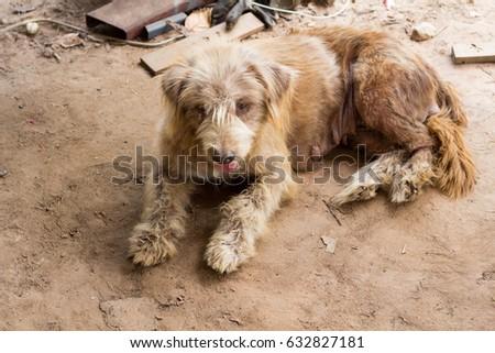 soft focus a dog sit on ground. Siam dog beautiful.