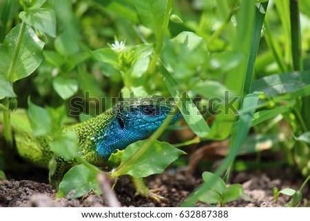 Green european lizard in nature. Green Lizard (Lacerta viridis) in natural habitat  #632887388