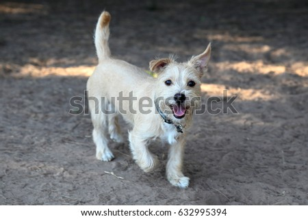 Terrier mixed breed  puppy running and playing at a dog park #632995394