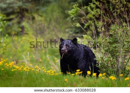 Black bear eating dandelions. #633088028