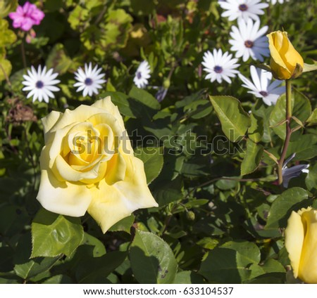 Stunningly  magnificent romantic beautiful bright yellow  roses fully blown  blooming in early spring  add fragrant charm to the garden  with their charming clustering habit . #633104537