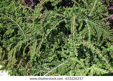 Flowering Cotoneaster in spring garden #633226217