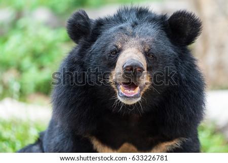 Asiatic black bear #633226781