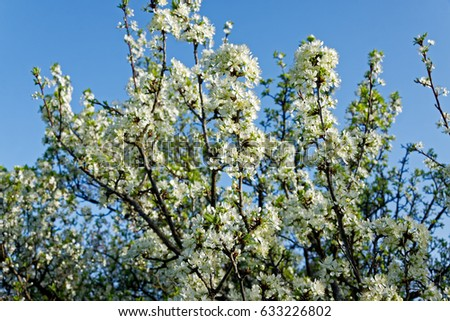 Beautiful white cherry blossom in spring time over blue sky #633226802