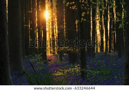 Sunrise in the Forest. Early morning says of sunlight illuminate the Hallerbos, near Brussels, Belgium. #633246644