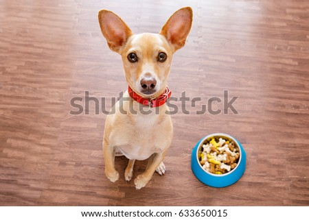 hungry  chihuahua dog behind food bowl  isolated wood background at home and kitchen looking up  to owner and begging #633650015