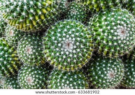 Selective focus close-up top-view shot on Golden barrel cactus (Echinocactus grusonii) cluster. well known species of cactus, endemic to east-central Mexico widely cultivated as an ornamental plant. #633681902