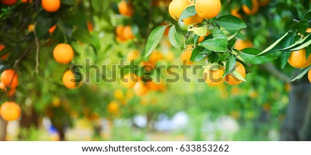 Bunch of ripe oranges hanging on a tree, Spain, Costa Blanca #633853262