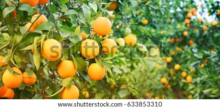 Bunch of ripe oranges hanging on a tree, Spain, Costa Blanca #633853310